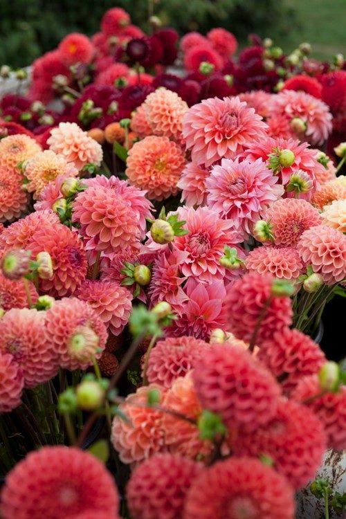 ダリア:オレンジやサーモンピンクのあたたかい秋色カラーが季節にぴったり!和風アレンジも似合う!