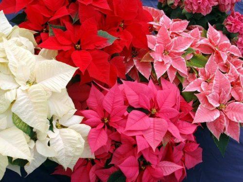 ポインセチア:クリスマスシーズンには欠かせない冬のお花