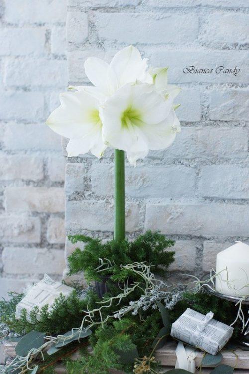 アマリリス:クリスマスシーズンに流通する、ユリに似た大輪の花