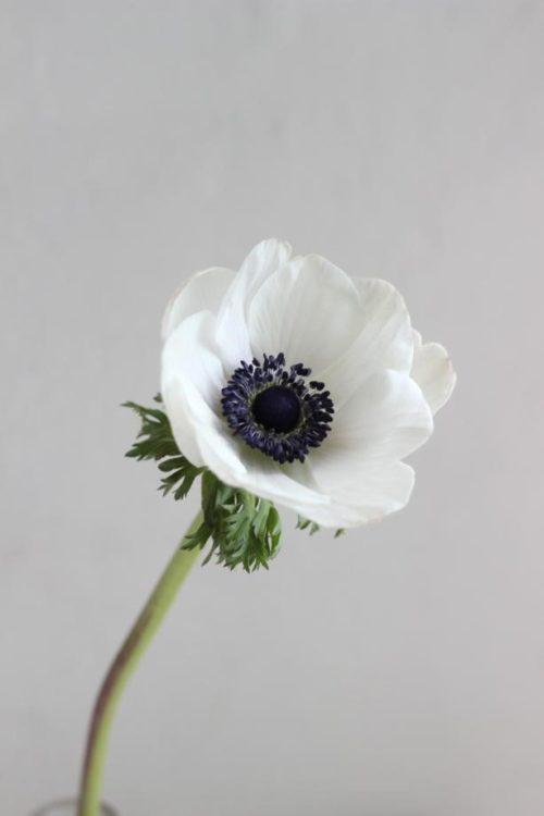 アネモネ:黒い花芯に白い花びらが印象的!大人っぽいナチュラルスタイルに似合う!