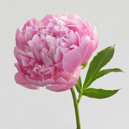 シャクヤク:繊細な花びらと香りが魅力!華やかでゴージャスなお花はこの時期だけ!